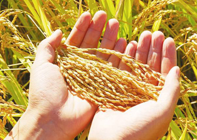 Rice first domesticated in China at about 10,000 years ago: study